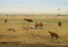 Veel wild in de Ngorogoro Krater