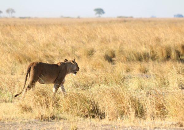 Lion in Botswana