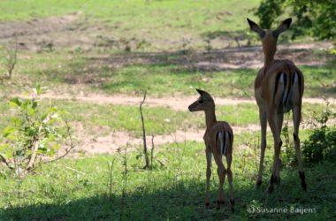 Wild in zambia